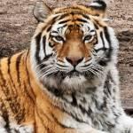 """Tiger Portrait"" by StonePhotos"