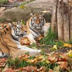 """""""Two Tigers"""" by StonePhotos"""