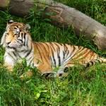 """Amir Tiger"" by StonePhotos"