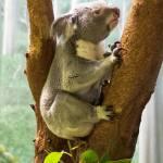 """Koala"" by StonePhotos"