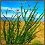 """Ocotillo Desert Plant"" by anncarol"