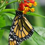 """Monarch & Milkweed No2"" by evansonart"