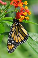 Monarch & Milkweed No2