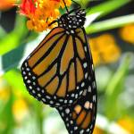 """Monarch & Milkweed No4"" by evansonart"
