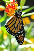 Monarch & Milkweed No4