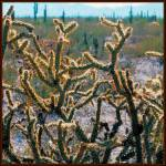 """Cholla"" by anncarol"
