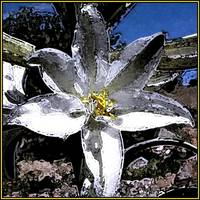 Desert Lily in Glorious Bloom