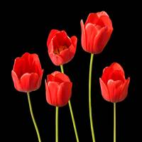 Red Tulips Black Background Square Wall Art