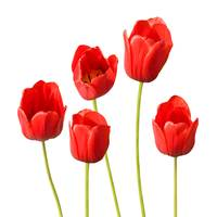 Red Tulips White Background Wall Art