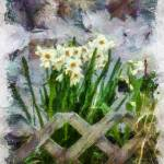 """Daffodils Against A Stone Wall"" by dbwalton"