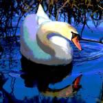 """""""Mute Swan (Cygnus olor)"""" by shelshots"""