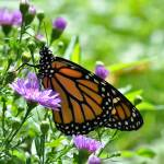 """Monarch Butterfly & Purple Asters No2"" by evansonart"