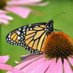 """Monarch Butterfly & Coneflower No3"" by evansonart"