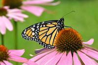 Monarch Butterfly & Coneflower No3