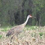 """A single sandhill crane"" by Anewsgal"