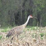 """A single sandhill crane"" by Anewsgal"