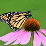 """Monarch Butterfly & Coneflower No4"" by evansonart"