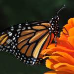 """Monarch and Orange Zinnia No2"" by evansonart"