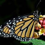 """Monarch Butterfly & Lantana"" by evansonart"