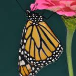"""Monarch Butterfly & Pink Zinnia No1"" by evansonart"