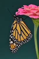 Monarch Butterfly & Pink Zinnia No1
