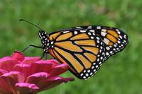 Monarch Butterfly & Pink Zinnia No2
