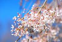 Weeping Cherry 20120402_97a