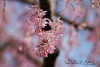 Weeping Cherry 20120322_189a