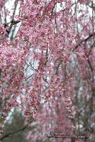 Weeping Cherry 20120322_120a