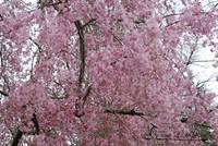 Weeping Cherry 20120322_121a