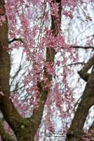 Weeping Cherry 20120322_122a
