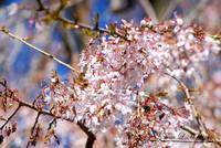 Weeping Cherry 20120402_95a