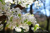 Bradford Pear Blossoms 20120402_120a