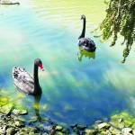 """Two Swans on a Lake"" by SuSu"