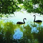 """Two Swans on a Lake in the shade"" by SuSu"