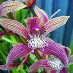 """""""Orchid"""" by SuSu"""