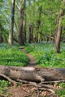 Bluebells and Single Track