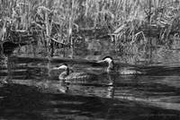 Red Necked Grebes B&W