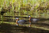 Red Necked Grebes
