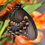 """Spicebush Swallowtail Butterfly & Alstro No1"" by evansonart"