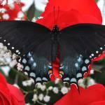 """Spicebush Swallowtail Butterfly - Valentine"" by evansonart"