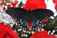 Spicebush Swallowtail Butterfly - Valentine