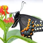 """""""Daniel the Black Swallowtail Butterfly"""" by evansonart"""