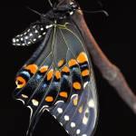"""""""Black Swallowtail Butterfly"""" by evansonart"""