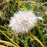 """Dandelion Clock Seedhead"" by TigerLynx"