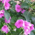 """Pink Impatiens"" by DennyPhil"