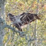 """Juvenile Bald Eagle"" by WildAboutNaturePhotography"
