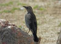 Common Grackle Female