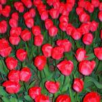 """Red HOT Tulips"" by RuthRoth"