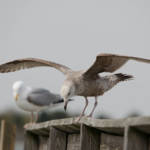 """Gulls"" by WildAboutNaturePhotography"